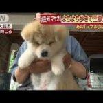 秋田犬!ザギトワのマサルに続き朝青龍にイトコのマサオを贈呈!!